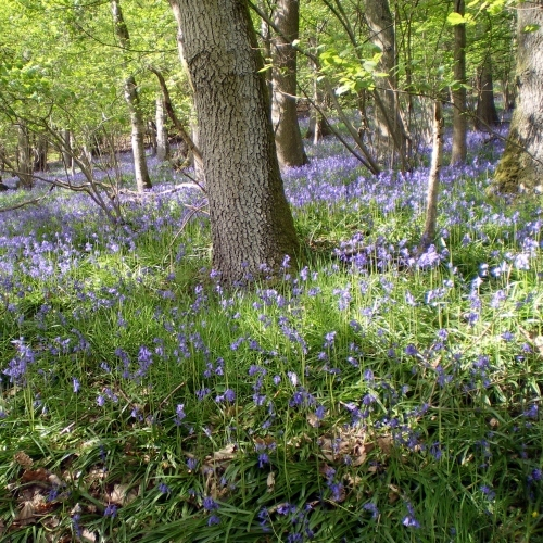 See the Blue Bells in the Spring near Bryncalled Barns